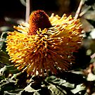 Banksia Epica by kalaryder