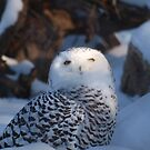 snow owl by Cheryl Dunning