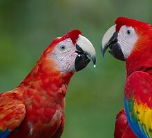 Scarlet Macaws by Stephen Stephen
