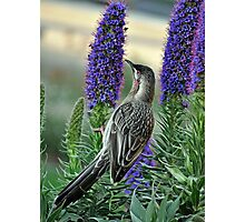 Red Wattle Bird Photographic Print