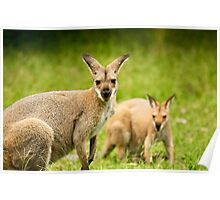 Pair Of Wallabies Poster