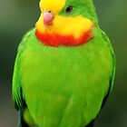 Superb Parrot by Ross Campbell