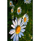 Wet Daisies - iCase by hallucingenic