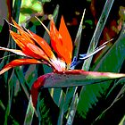 Bird of Paradise by Geoffrey Higges