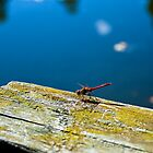 Dragonfly by Petteri Sopanen