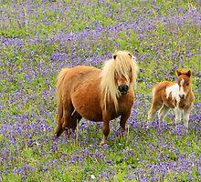 Shetland pony and Foal by jonshort58