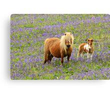 Shetland pony and Foal Canvas Print
