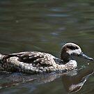 Mallard Duck Female Swimming by Pete  Burton