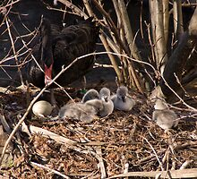 5 Chicks, 1 Egg, & a Proud Mum by Country  Pursuits