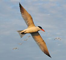 Caspian Tern & White Ibis In The Setting Sun by Kathy Baccari