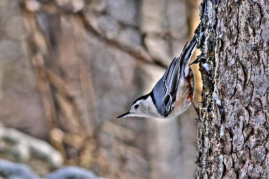 White Breasted Nuthatch by Larry Trupp