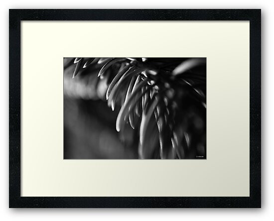 Blue Spruce Needle Study in Black and White by William Martin