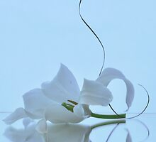 Flower white on a blue background. by larisa  fedotova