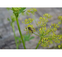 Wasp on a yellow flower Photographic Print