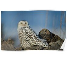 Owl at Amherst Poster