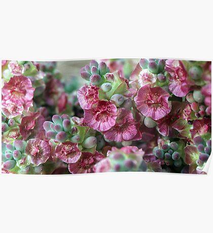 Pink fruit  Mariana chenopodiaceae Australia 19820806 0013 Poster