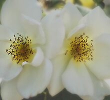 Soft White Roses by Geoffrey Higges