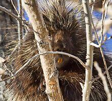 Porcupine 2 by Kim Barton