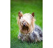 mini yorkshire terrier pup playing Photographic Print