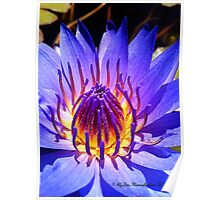 My Glorious Purple Water Lily Poster