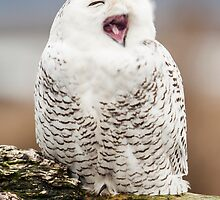 Snowy Owl Yawning by Jim Stiles