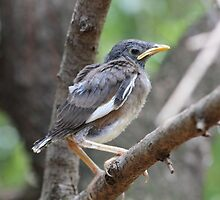 Another Mynah fledgling by Maree Clarkson