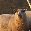 Sheep munching hay  by millymuso