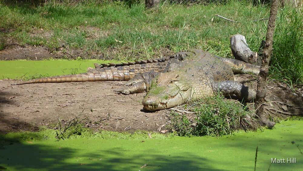 Crocodile Sunbaking by Matt Hill