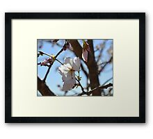 Baby Pink Cherry Blossoms Framed Print
