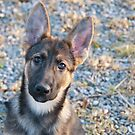 Gold Sable German Shepherd Puppy by elainejhillson