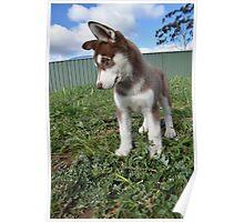 Jax-husky/malamute puppy Poster