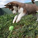 Jax-husky/malamute puppy playing  by Russell Voigt
