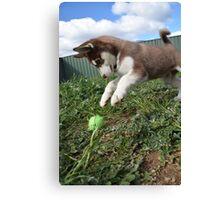 Jax-husky/malamute puppy playing  Canvas Print