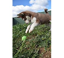 Jax-husky/malamute puppy playing  Photographic Print
