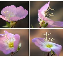 Dancing with the wind... Pink Evening Primrose (Oenothera speciosa) Free State, South Africa by Qnita