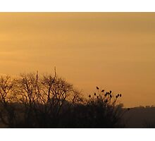 Starlings collecting to roost Photographic Print