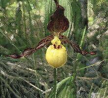 Lady Slipper by Shirley Wood