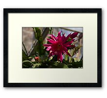 Vivacious Christmas Cactus Bloom Framed Print