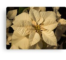 Elegant Ivory Poinsettia - An Exotic Christmas Greeting Canvas Print