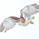 Hawk on white by Daniel  Parent