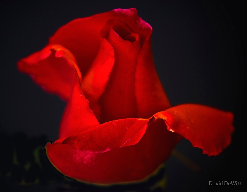 A Rose As Perfect As You by David DeWitt