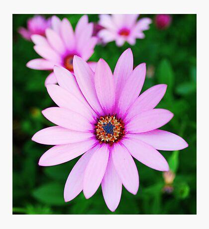 Violet daisy Photographic Print