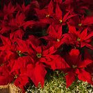 Vivid Scarlet Christmas Star - Poinsettias Impressions by Georgia Mizuleva