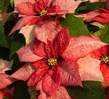 Exotic Speckled Poinsettia Blossoms - Christmas from the Tropics  by Georgia Mizuleva