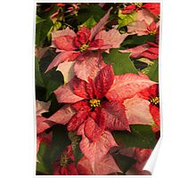 Exotic Speckled Poinsettia Blossoms - Christmas from the Tropics  Poster
