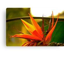 Paradise Fading - Bird of Paradise Flower, Cairns, FNQ, Australia Canvas Print