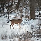 White Tail in Canterbury Hills by deb cole