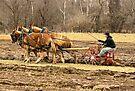 A Three Hitch Mule Team by barnsis