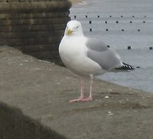 Seagull Bridlington East Yorkshire by angela935