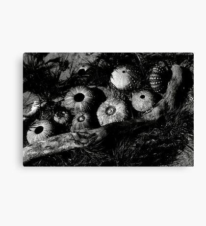 Monochrome Urchins Canvas Print
